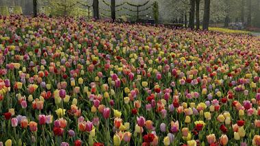 Tulipanes y Keukenhof en mitad de la primavera