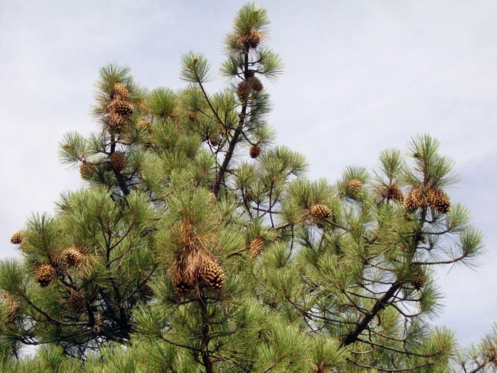 Coulter pine with pineapple-sized cones