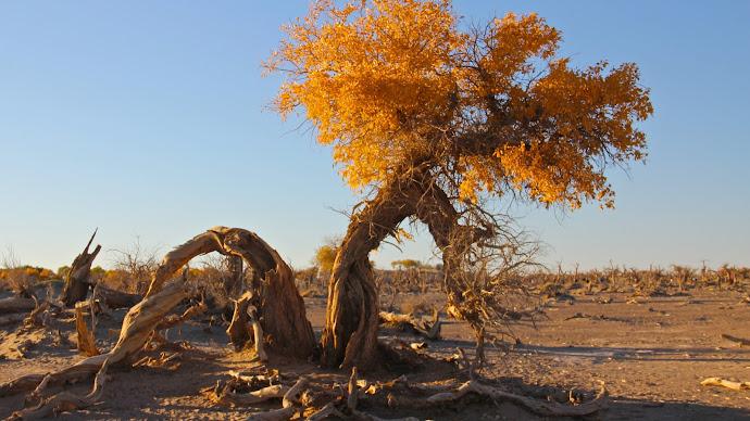 Wallpaper: Desert. Dry Nature. Tree