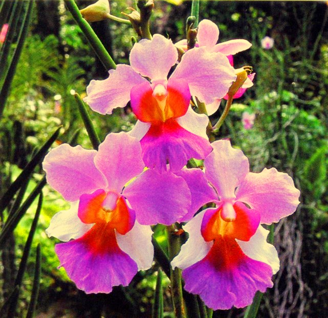 The Vanda Miss Joaquim orchid has been Singapore's official national flower since 1981, approved by the then Ministry of Culture.