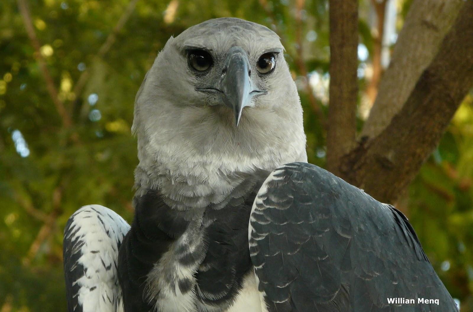 A Harpia Na Mata Atlantica on Snowy Owls