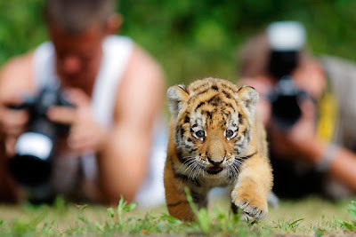 AG's Blog: Hi-Def Pics - The Cutest Siberian Tiger Cub In ...