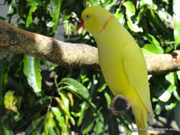 Indian ringneck parakeet at Kula Eco Park in Fiji
