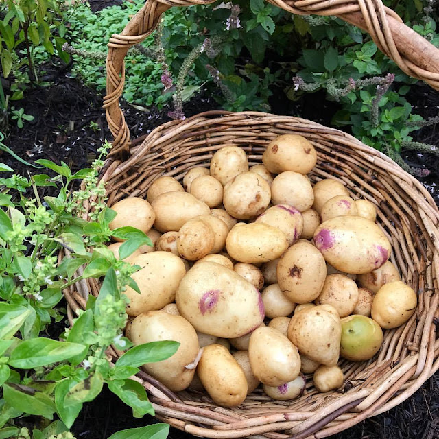 How To Grow Potatoes In Mulch or Straw – All Steps