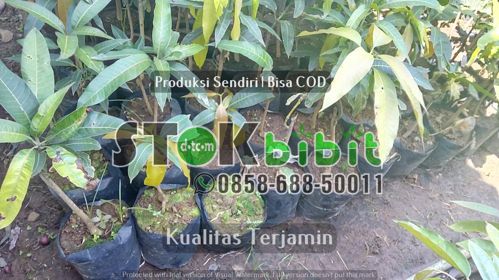 Jual Bibit Jambu Madu Deli | Bibit Jambu Madu Deli Hijau | Harga Bibit Jambu Air Madu Super Green       Berkwalitas       Berkwalitas