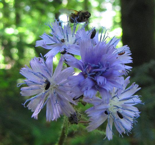 Modrzyk górski (Cicerbita alpina).