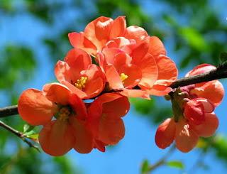 веточка с цветами японской айвы