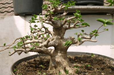 Proses Membuat Bonsai Sancang