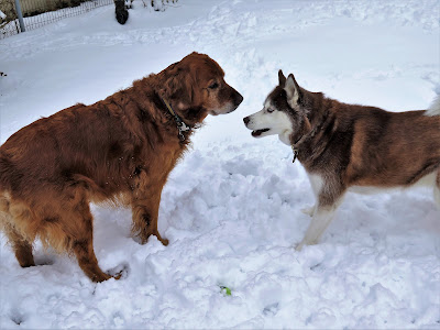 Siberian Husky and Golden Retriever playing together in the snow. Dogs in the snow
