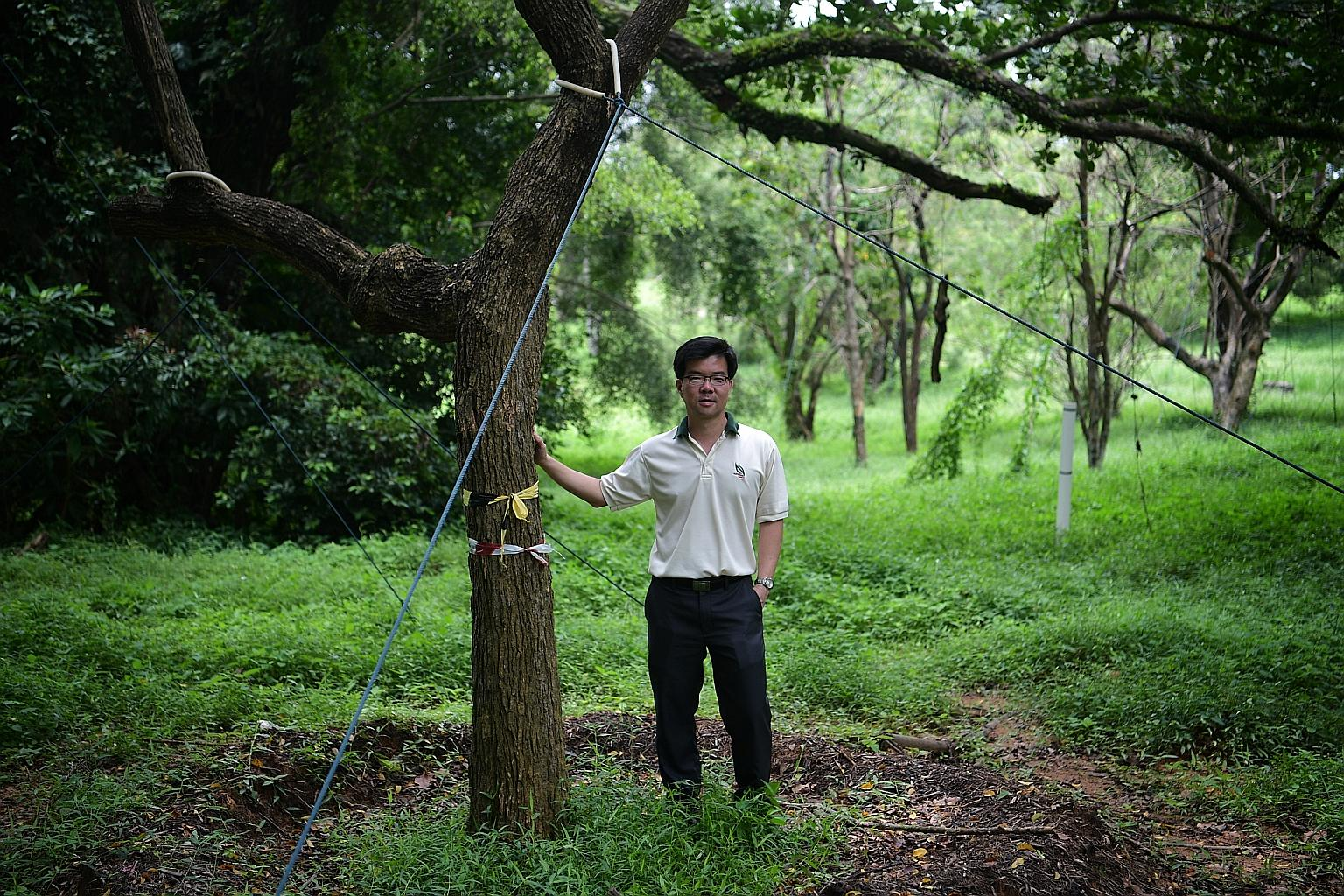 NParks streetscape group director Oh Cheow Sheng with a transplanted mango tree at the Bidadari holding area.