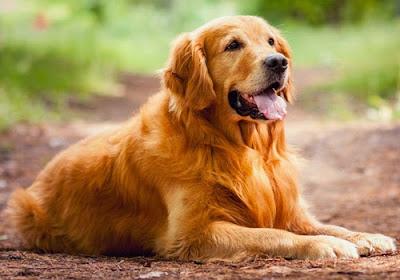 Contoh Descriptive Text Tentang Hewan anjing (dog)