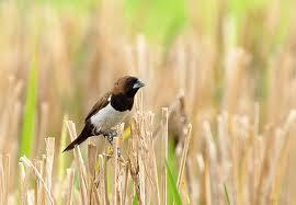 Burung Gue Ada Yang Sudah Tahu Tentang Sate Burung Emprit