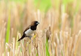 selama ini dikenal sebagai hami bagi tanaman padi Ada Yang Sudah Tahu Tentang Sate Burung Emprit???