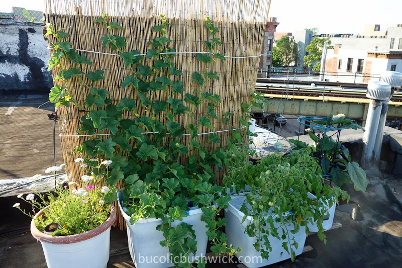 Bucolic Bushwick Growing Tips For Rooftop Vegetable Gardening