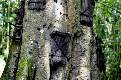 "Kuburan Bayi didalam Pohon, ""Kambira Tana Toraja"""