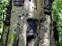 "Kuburan Bayi didalam Pohon ""Kambira Tana Toraja"""