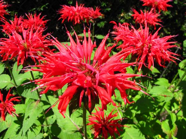 U.S. Native Plants: Bee Balm