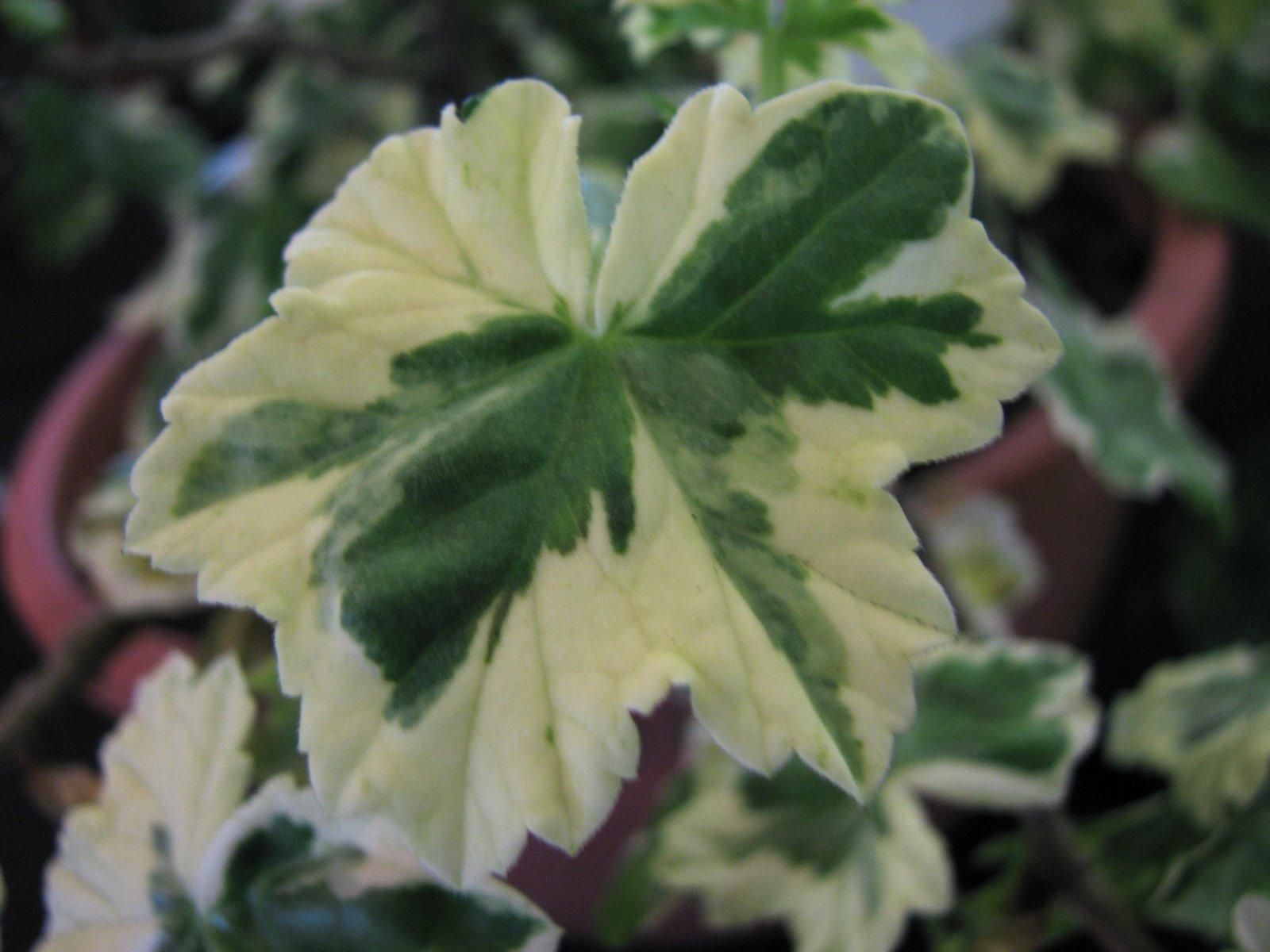 Plant Photography: Variegated Pelargonium Geranium Leaf