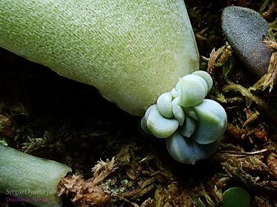Suculenta Graptoveria Fantome