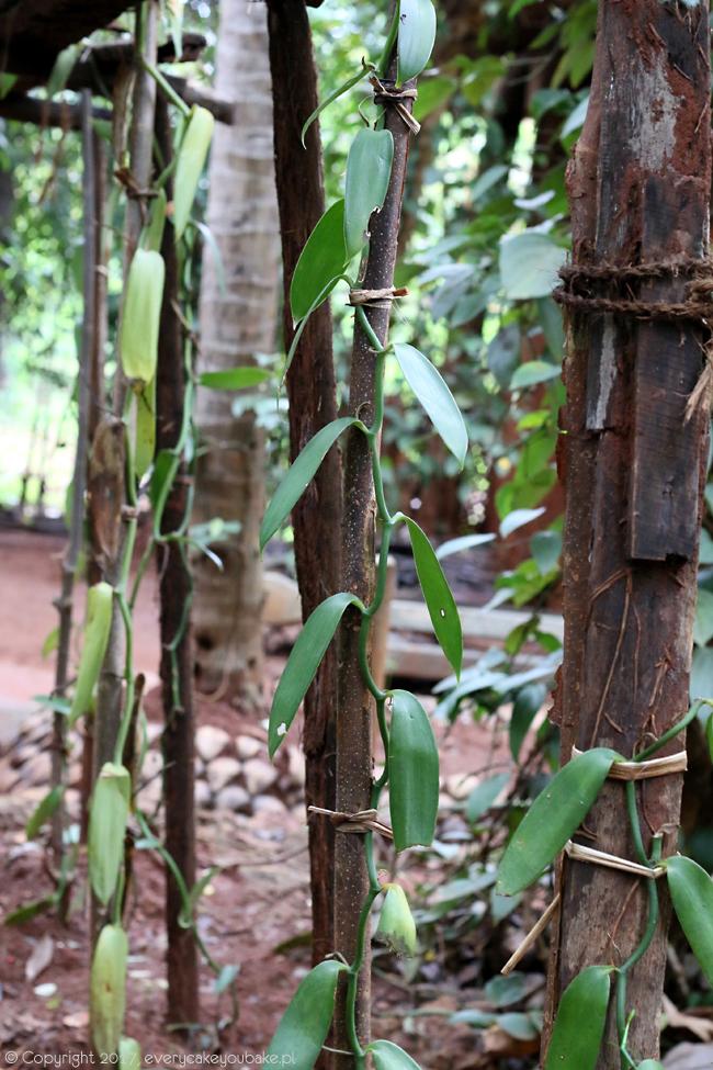 wanilia - ogrody przypraw na Sri Lance
