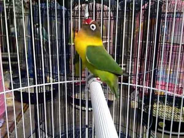 Suara Lovebird Ngekek Panjang Juara Lomba