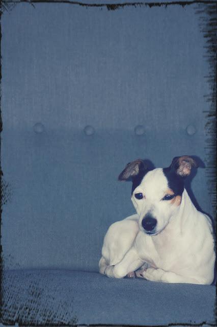 piękny biały pies