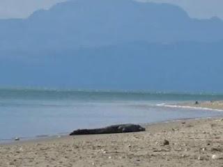 Buaya Relek Tepi Pantai Manusia Lintang Pukang