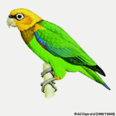 Saffron headed parrot
