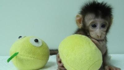 Ilmuwan China Berhasil Mengkloning Monyet