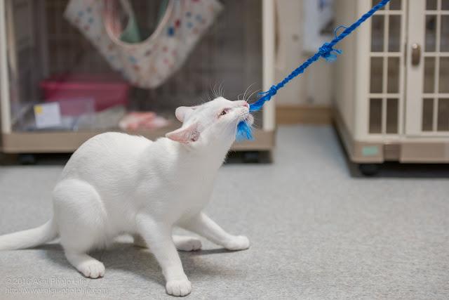 猫カフェ 西国分寺シェルターにいた遊び好きな白猫が紐をくわえてグイグイと引っ張って遊んでいる写真