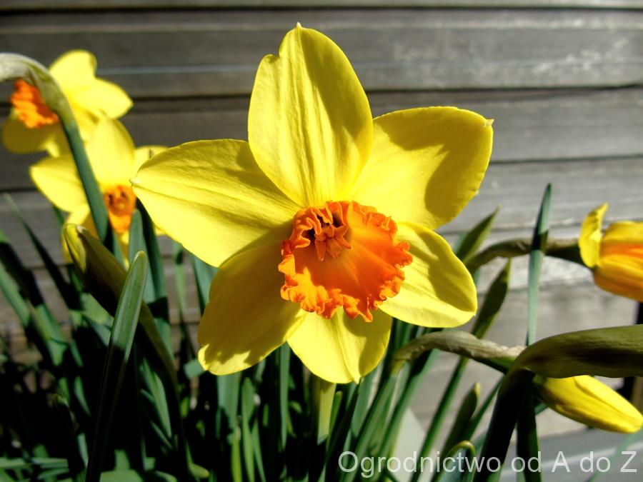 Narcissus 'Red Devon'