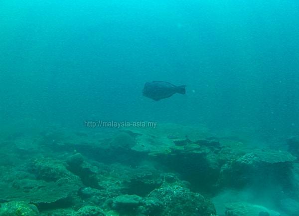 Miri Bumphead Parrotfish