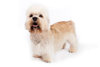 Everything about your Dandie Dinmont Terrier
