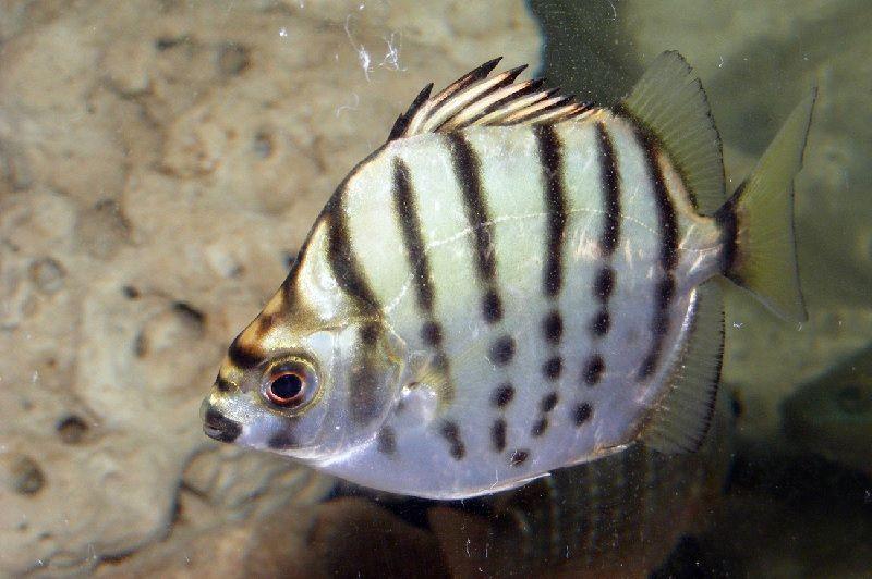 Gambar Ikan Silver Scat