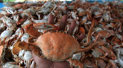 About Us : Wholesale Crab Meat Supplier - Crab Meat Farming From Indonesia, Crab Canning Factory