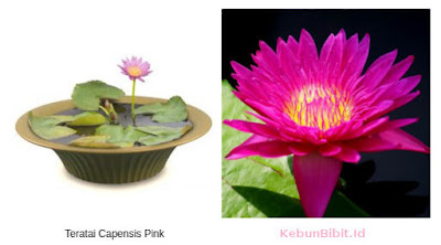 teratai_capensis_pink