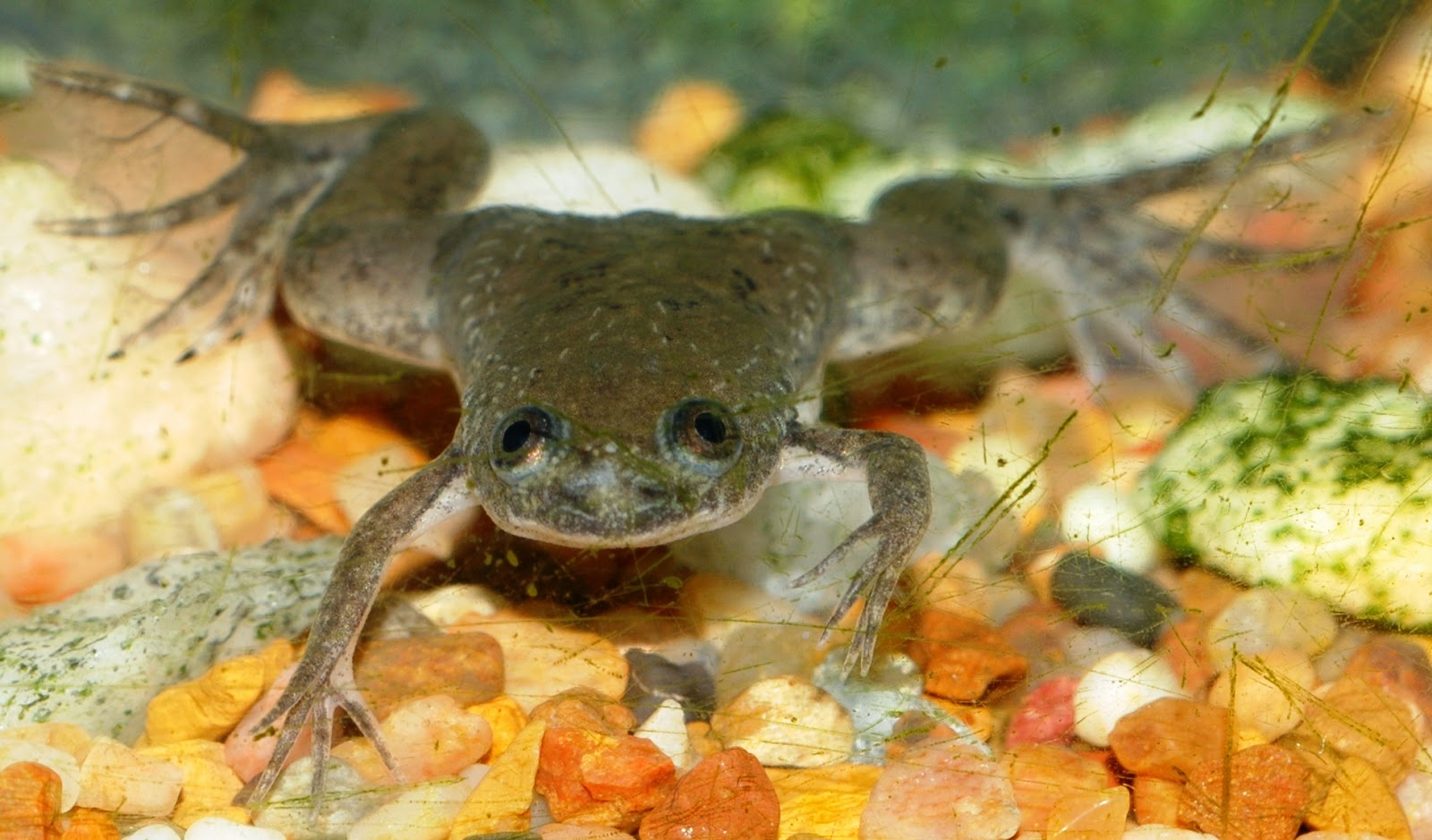 african clawed frog fun animals wiki videos pictures stories rh animaltheory blogspot com African Dwarf Frog Habitat Baby African Clawed Frog