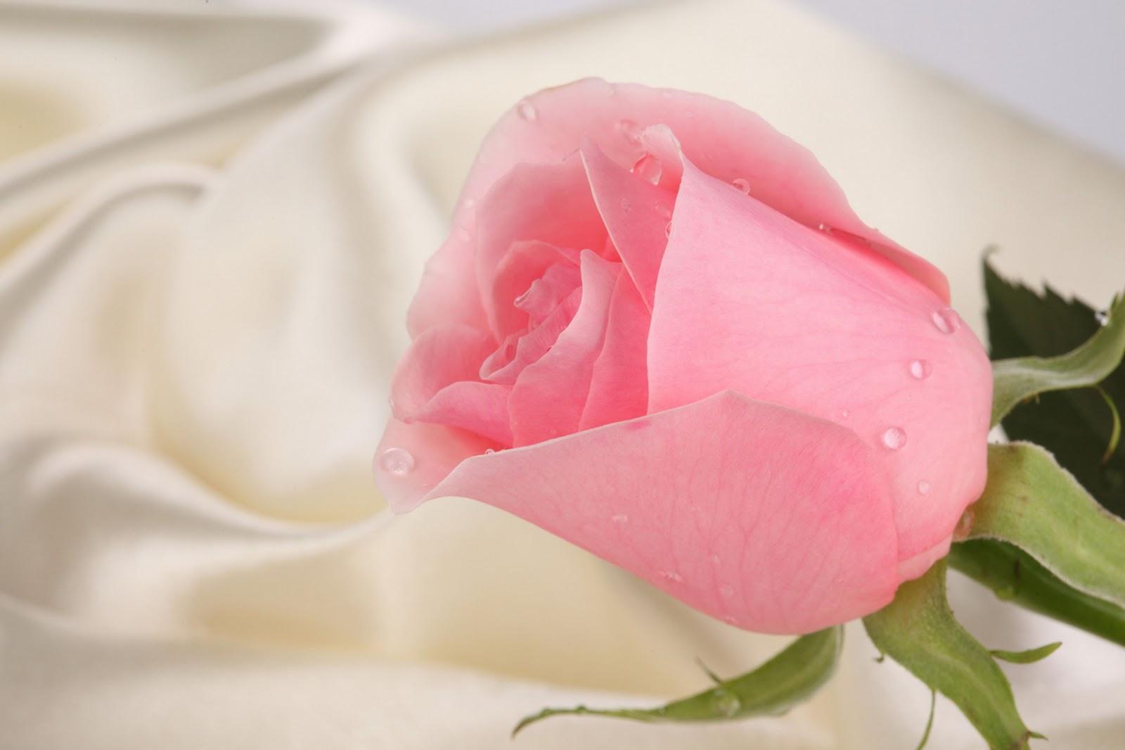 Kumpulan Gambar Wallpaper Bunga Mawar Merah Bilik Wallpaper