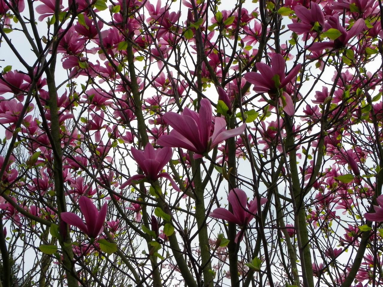 evariste zephyrin photographer arbre en fleurs le magnolia. Black Bedroom Furniture Sets. Home Design Ideas