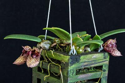 Bulbophyllum frostii care and culture