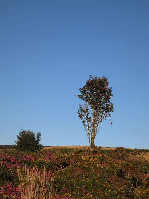 Lone Rowan Tree on Quantock Hill with flowering gorse and heather