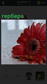 Около окна, за которым идет дождь лежит цветок гербера красного цвета