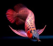 Arwana Ikan predator asli indonesia