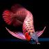 Jeni-Jenis Ikan Predator Air Tawar Yang Unik Dan Populer Dipelihara Di Aquarium
