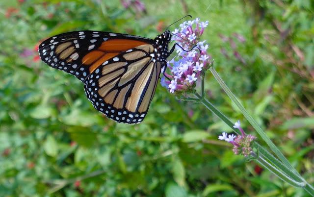 Male monarch butterfly t Flamingo Gardens in Davie, FL