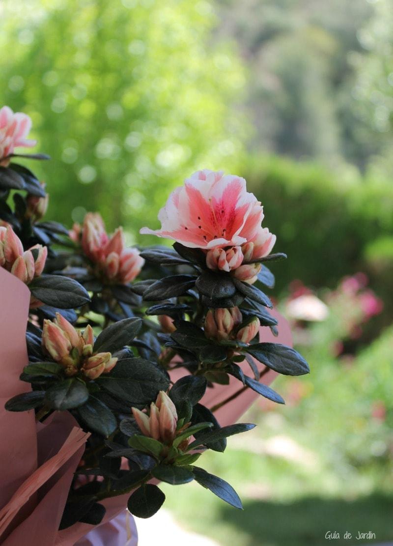 Flor de azalea
