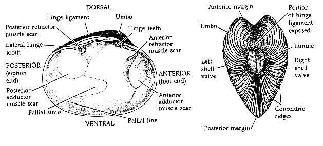 The Palaeo Post  The Difference Between   Bivalves And