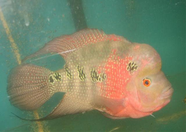 Flowerhorn The Hybrid Cichlids: 11/02/11