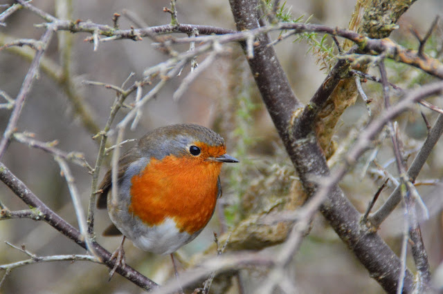 robin, garden, british bird, winter,
