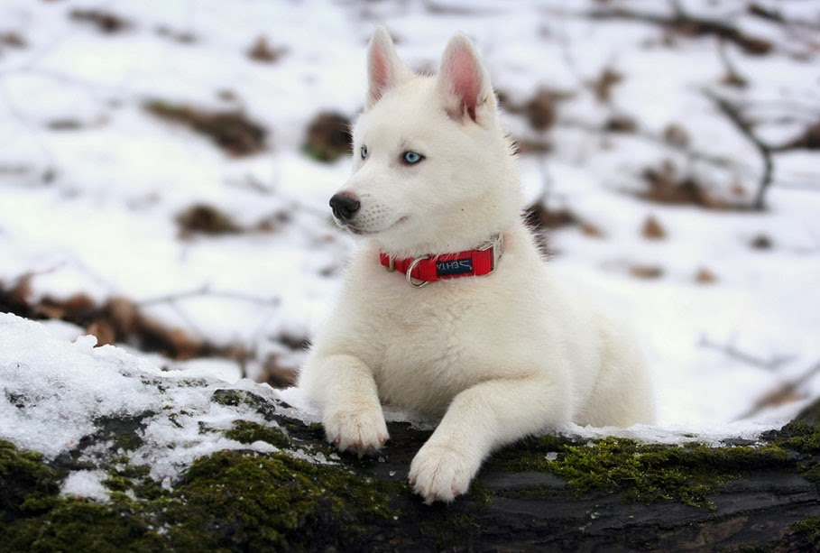white husky dog for - photo #28